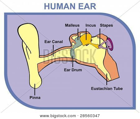 Human Ear - Including External, Middle & Outer Ear - Parts are Shown (Pinna, Ear Canal, Ear Drum, Malleus, Incus, Stapes, Eustachian Tube) - Useful For School, Medical Education and Clinics