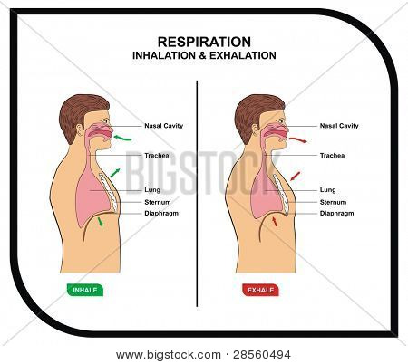 VECTOR - Respiration (Inhalation & Exhalation)