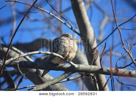 Cold Morning Dove in Tree