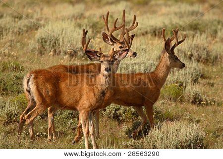 Mule Deer Bucks In Velvet