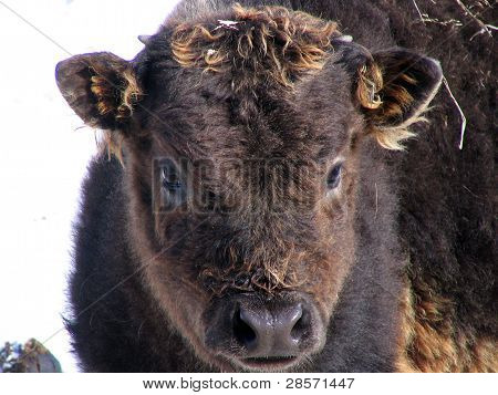 Black bison calf