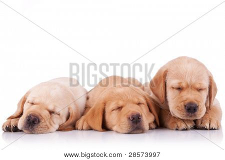 three adorable little labrador retriever puppies  sleeping on white background