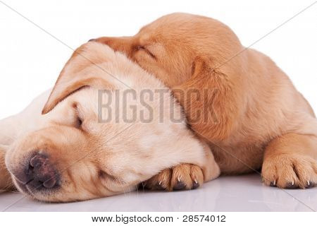 two adorable little labrador retrievers sleeping on white background