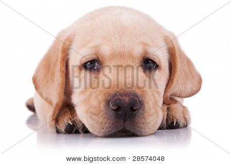 closeup picture of a sad little labrador retriever puppy, on white background