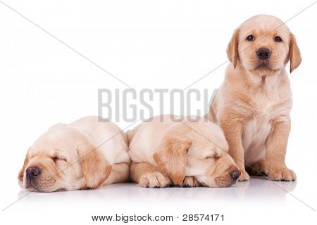 three adorable little labrador retriever puppies, two sleeping and one looking at the camera