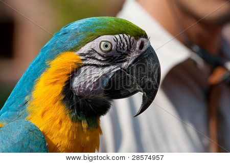 Blue Wing Yellow Chest Parrot