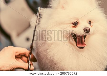 poster of Female Groomer Haircut Pomeranian Dog On The Table For Grooming In The Beauty Salon For Dogs. Toned