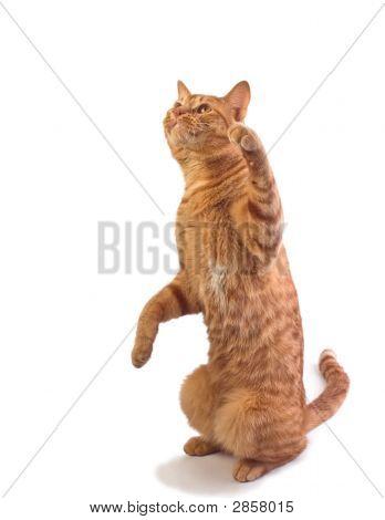 Orange Tabby Cat Isloated