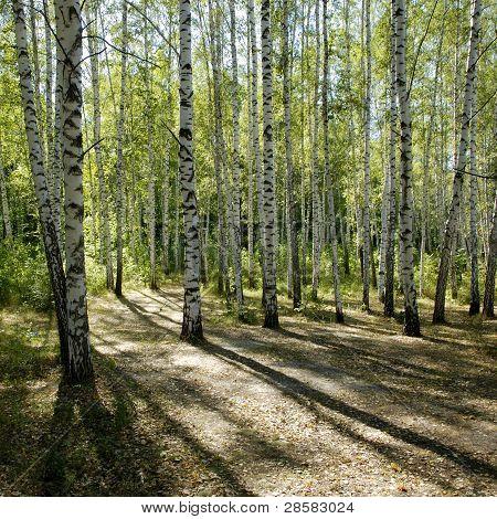 Sunshiny Birch Grove