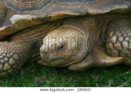 Tortoise In Close Up