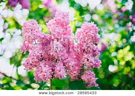 Close-up pink lilac flower in front of lush foliage with magic bokeh