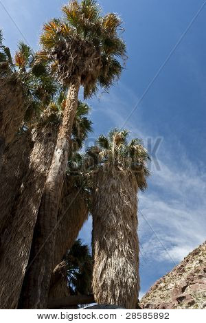 Palm Oasis In Anza Borrego Desert. California, Usa