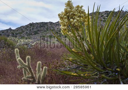Desert Wildflowers And Cactus In Bloom In Anza Borrego Desert. California, Usa