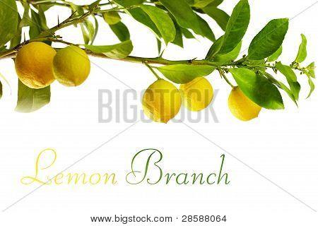 Zweige mit frische Zitronen Reifen Früchten, isoliert auf weiss
