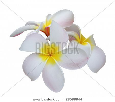 Frangipani (plumeria) tropical flowers isolated on white background