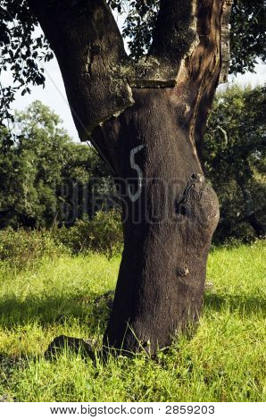 Cork Tree Forest (Quercus Suber)