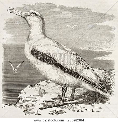 Wandering Albatross old illustration (Diomedea exulans). Created by Kretschmer, published on Merveilles de la Nature, Bailliere et fils, Paris, ca. 1878