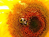 Field of blooming sunflowers. Top View, Space for Text. Sunflower field landscape. Sunflower field p poster