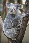 The Mother Koala Is Cuddling Her Young Joey In The Fork Of A Tree poster