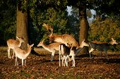 image of animals sex reproduction  - buck and doe mating on an autumn evening Knoll House - JPG