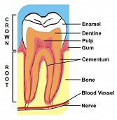Cross-Section of Tooth (Crown & Root) --- including the parts (enamel, dentine, pulp, gum, cementum,