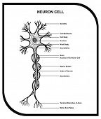 picture of cytology  - Human Neuron Cell  - JPG