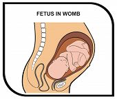 stock photo of fetus  - VECTOR  - JPG