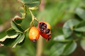Rose Hip Or Rosehip Or Rose Haw Or Rose Hep Ripe Partially Cracked Accessory Fruit Of Rose Plant Gro poster