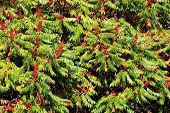 Staghorn Sumac Or Rhus Typhina Small Trees Planted Next To Each Other With Large Treetop Connected I poster