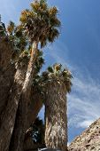 stock photo of anza  - Palm oasis in Anza Borrego Desert State Park - JPG