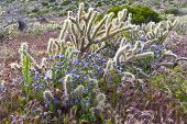 stock photo of anza  - Desert wildflowers and cactus in bloom in Anza Borrego Desert State Park - JPG