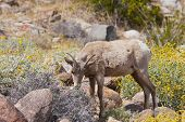 picture of anza  - Young Desert Bighorn Sheep in Anza Borrego Desert State Park - JPG