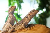 pair of bearded dragons