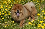 Chow Chow Dog On A Glade Of Yellow Flowers