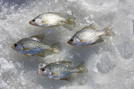 picture of crappie  - crappies catch laying on a frozen freshwater lake - JPG