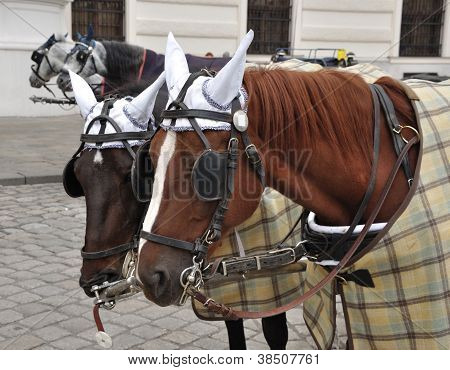 Brown Horses With Harness