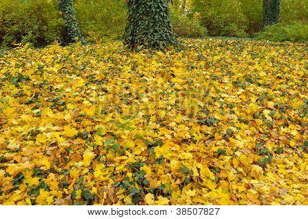 Maple Foliage Under Trees