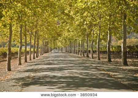 Tree Line Driveway Napa Valley