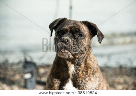 Wet Sandy Boxer At The Beach