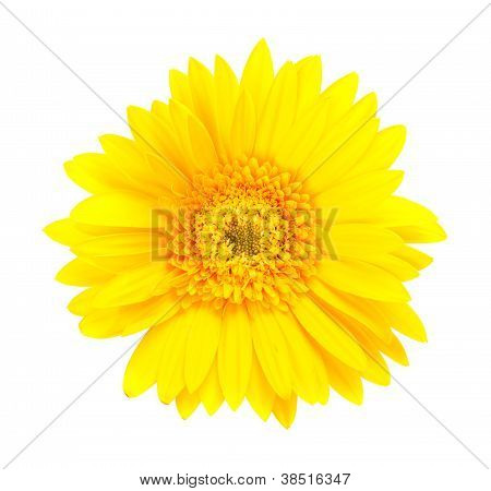 Single Yellow Gerbera Flower