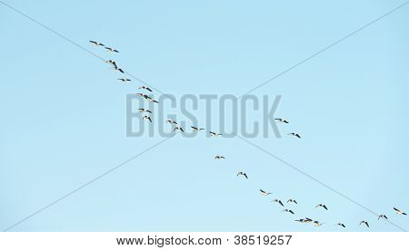 Geese flying in formation at fall
