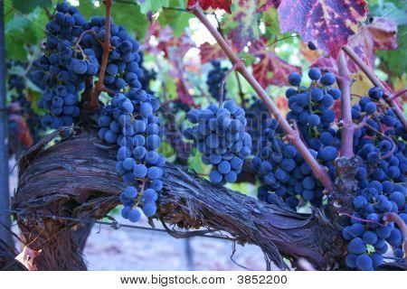 Cabernet_Fruit