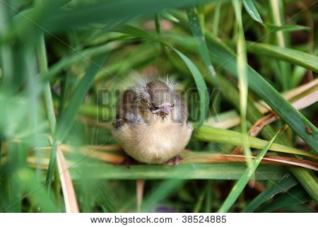 Fledgling Chaffinch Alone In Tall Grass