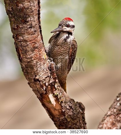Bearded Woodpecker Sitting On A Branch
