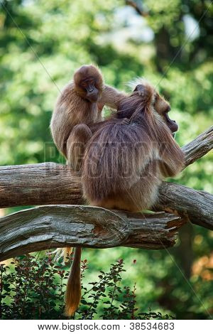 Two monkeys taking care of your hair