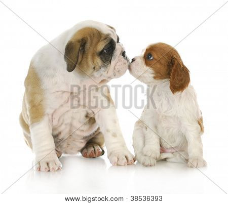 puppy love - english bulldog and cavalier king charles spaniel kissing each other