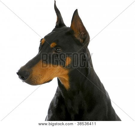 guard dog - doberman pinscher head profile isolated on white background