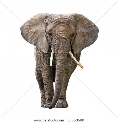 Elefant, isolated on white