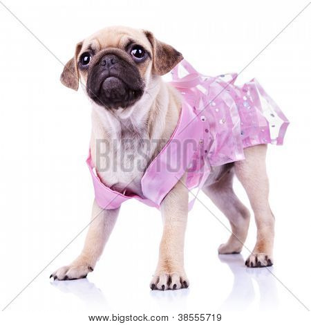 curious little mops puppy dog princess standing on white background. cute pug puppy wearing a pink dress and looking away from the camera