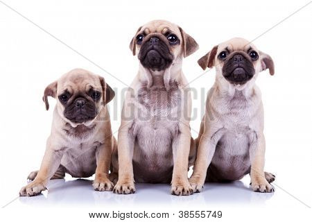 three cute mops puppy dogs sitting on white background. two of them are looking up and one is looking down